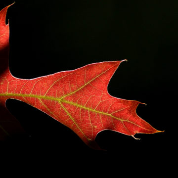 Image of a red maple leaf with black background